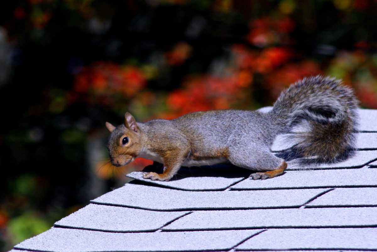 Animals That Can Ruin your Roof (and What to Do About Them)