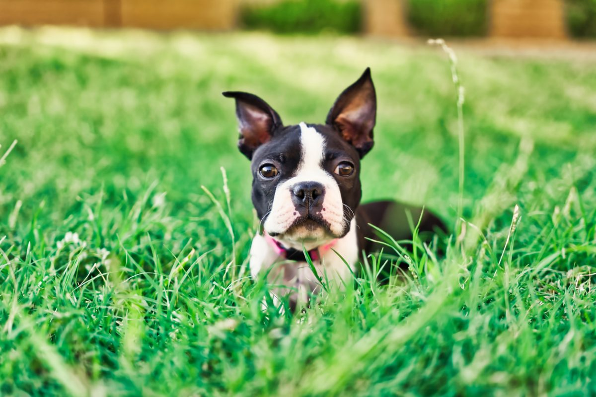Boston Terrier puppy lying in grass