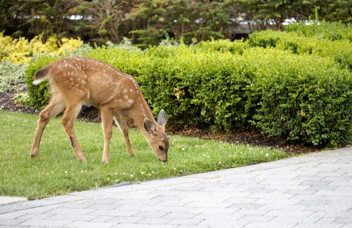 Baby deer still with white spots, enjoying some green grass