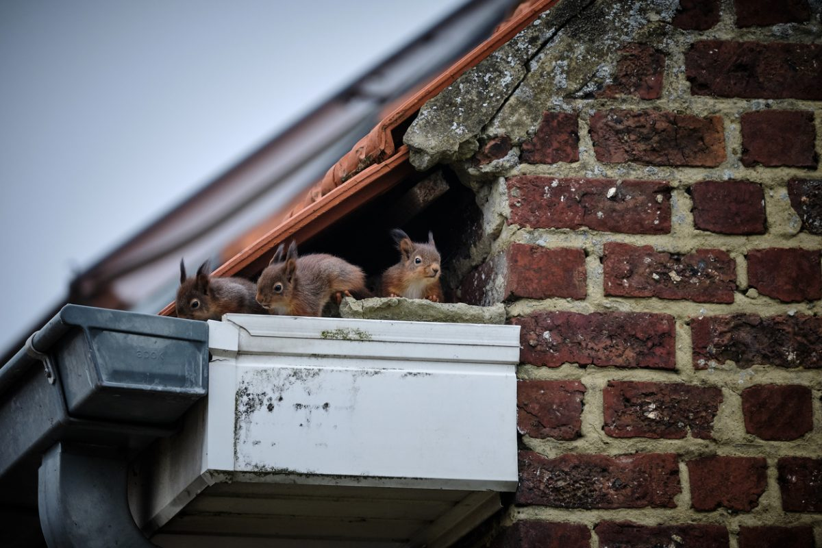 What To Do If I Have Animals Living On Or In My Roof